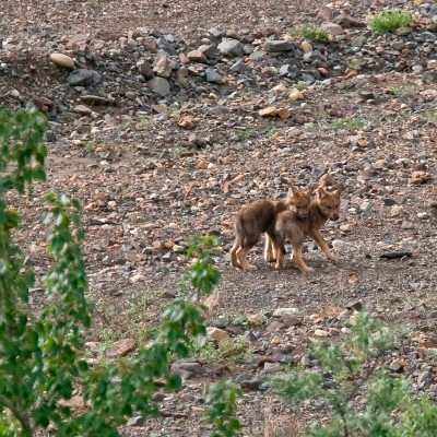 Wolf pups are born in late spring and early summer in Denali National Park in Alaska.